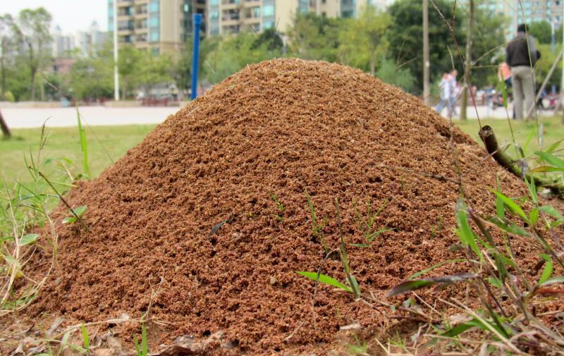 藏在小区草坪中的红火蚁蚁巢。许益镌供图