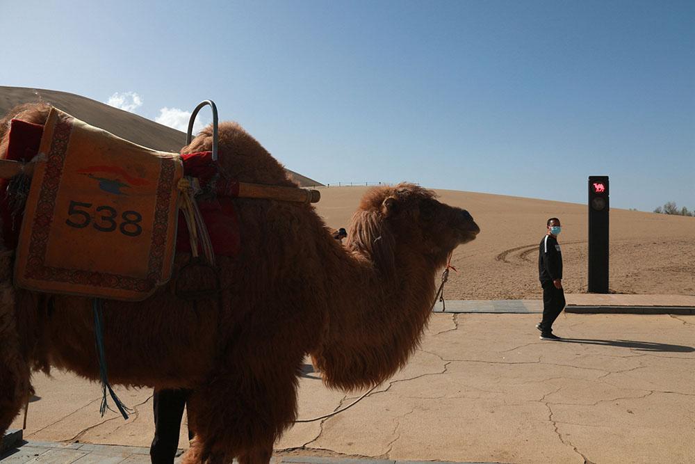 """2021年4月11日,敦煌市鸣沙山月牙泉景区的交通信号灯""""红骆驼灯""""亮时,农户牵着骆驼等候。针对景区内骆驼行走的路线、游人步行道和车辆行驶道交叉的情况,鸣沙山月牙泉景区设计出引导人、车和骆驼分流用的交通信号灯,确保景区交通安全有序。张晓亮/视觉中国 图"""