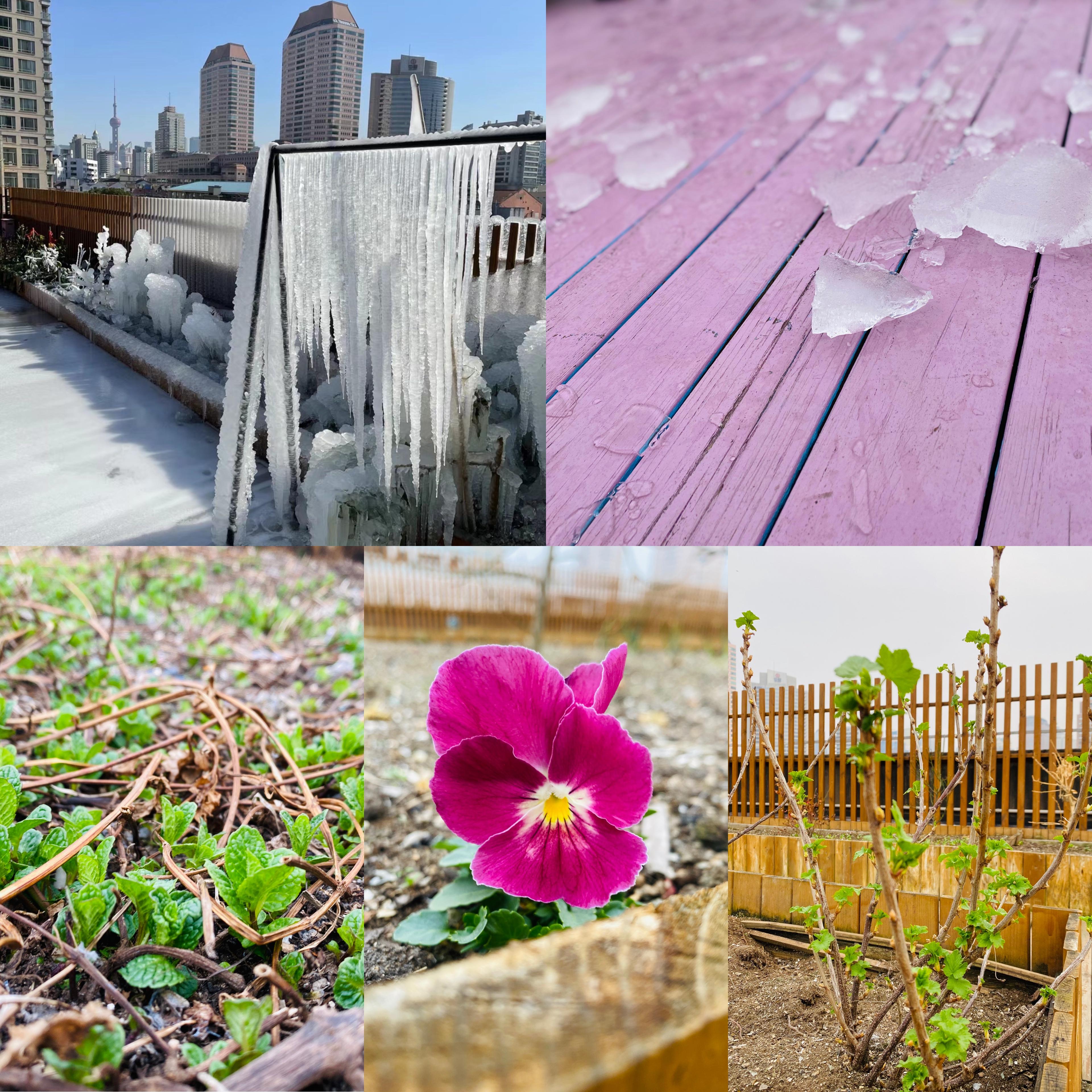 寒潮期间被冻在冰里的植物,天气暖和后又复活了。
