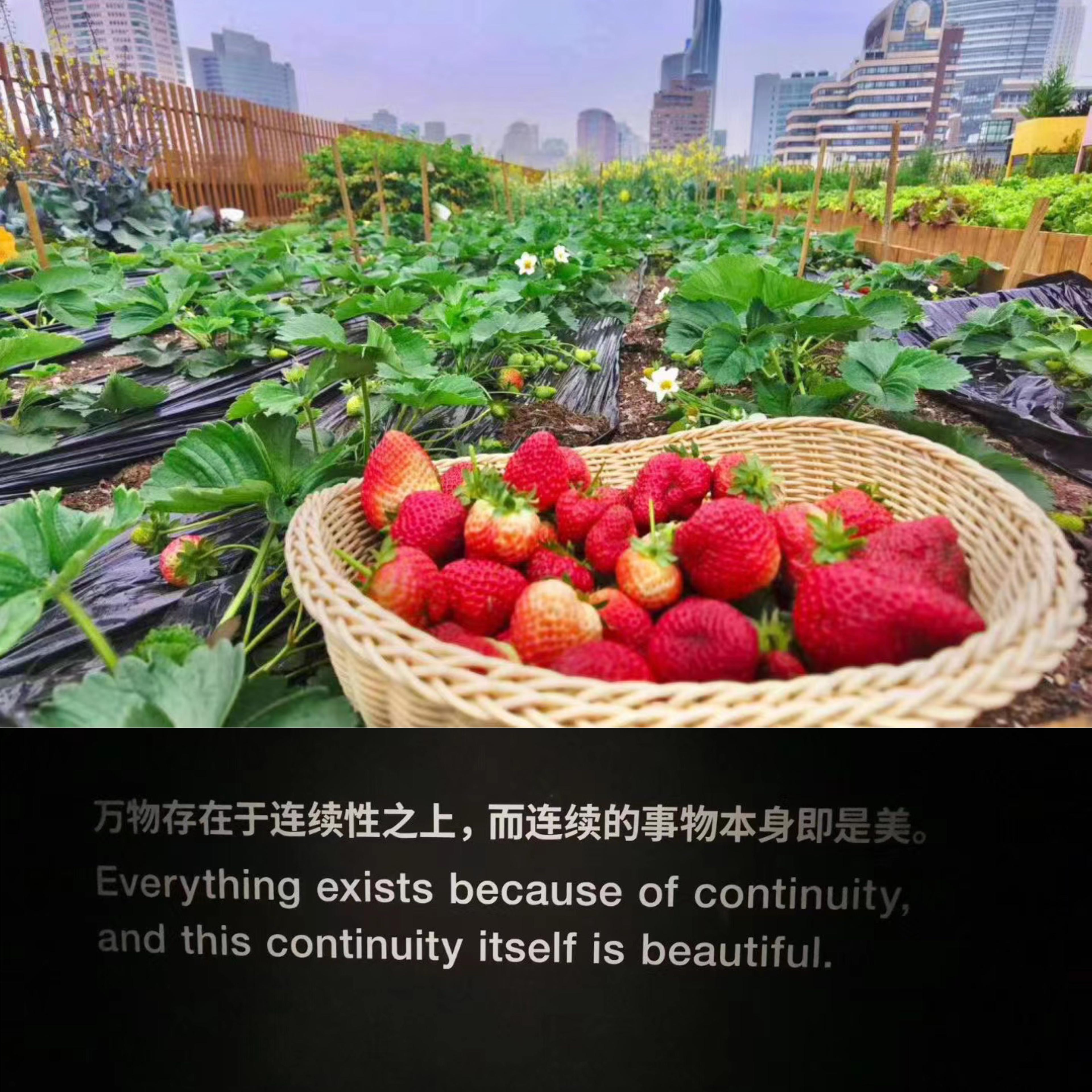 农场以前收获的草莓。