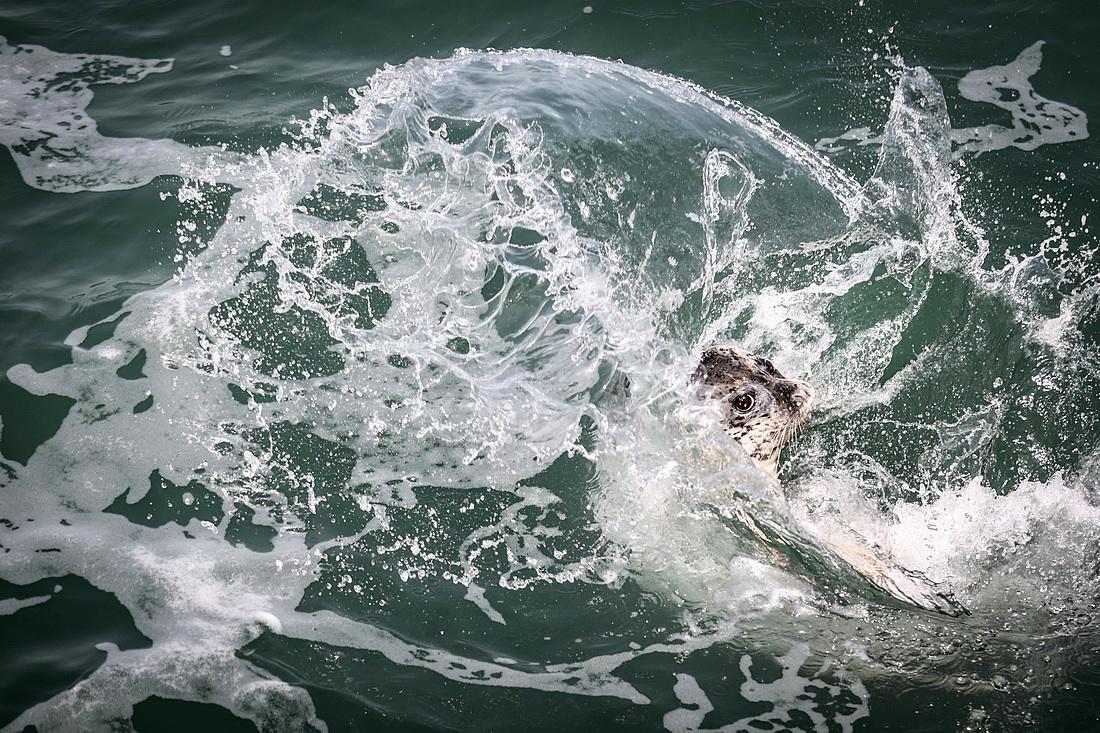 2021年4月16日,一头被放流的西太平洋斑海豹跃入海中。当日,辽宁大连举办西太平洋斑海豹野外放流活动。本次活动中放流的8只西太平洋斑海豹,3只是今年救助的,5只是人工繁育的。这是首次将人工繁殖的斑海豹放归野外种群。工作人员为它们佩戴了追踪设备,实时监测放流后的生活情况。据了解,今年2月,国家林业和草原局、农业农村部联合公布新调整的《国家重点保护野生动物名录》,其中将斑海豹更名为西太平洋斑海豹,保护等级从二级提升为一级。潘昱龙/新华社 图
