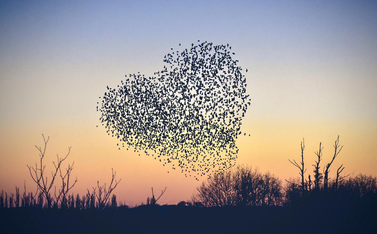 2021年3月1日,英国罗姆西,日落时分,当地空中飞舞的椋鸟组成了爱心的形状。