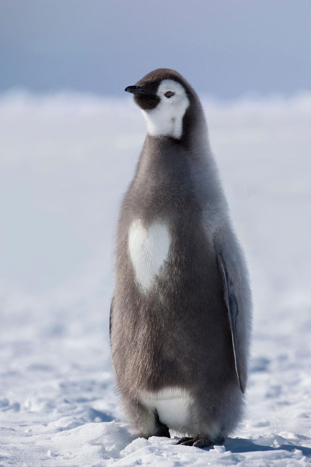 2018年9月,野生动物摄影师苏·弗洛德在南极拍摄到极为罕见的一只胸口绒毛长成心形的帝企鹅宝宝。