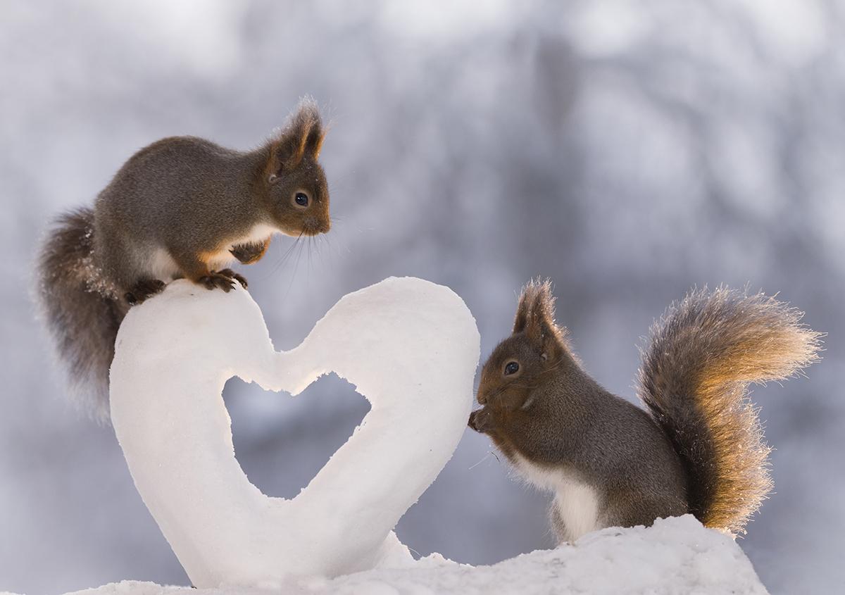 2018年2月8日,瑞典耶姆特兰,松鼠在心形雪堆上嬉戏。