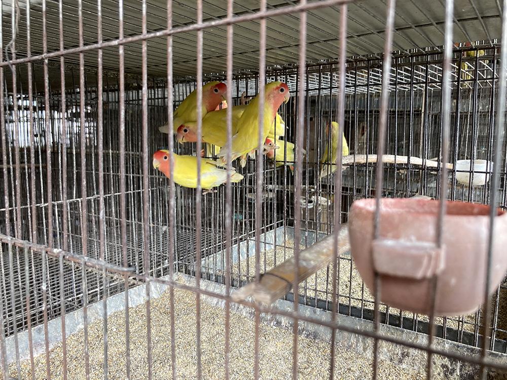 商丘市的鹦鹉养殖已有30多年历史。 澎湃新闻记者 段彦超 图