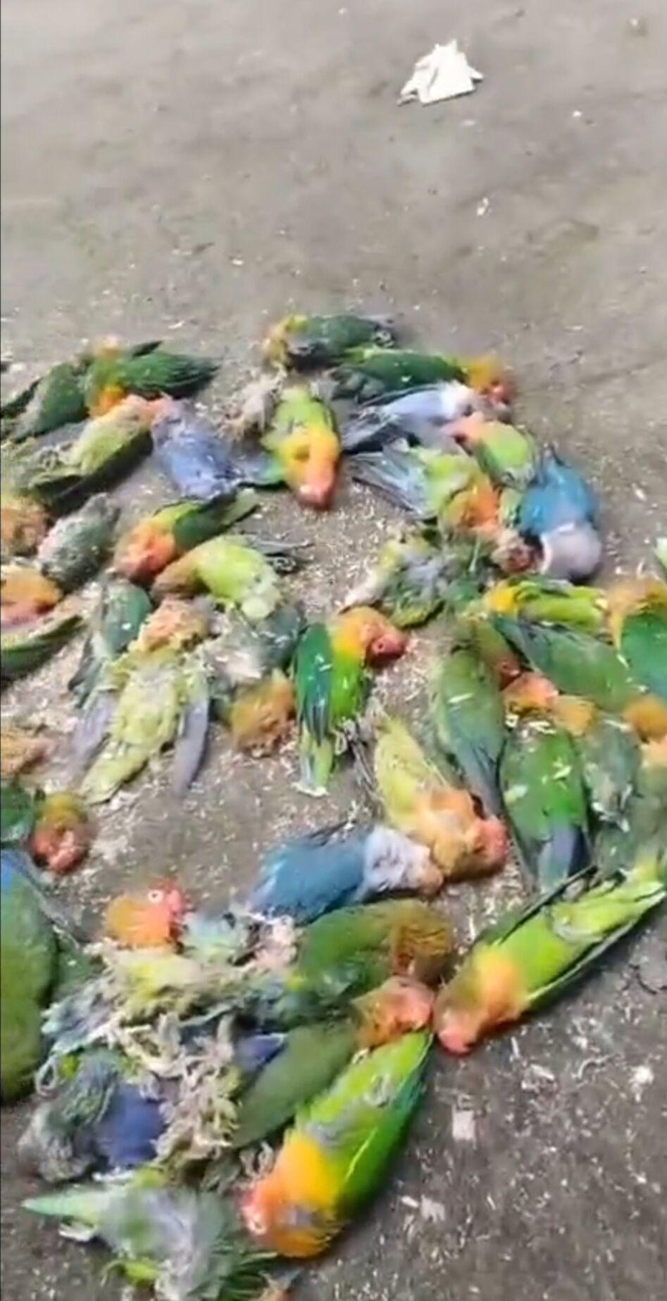 有养殖户被抓后,当地交易市场中断。养殖户不敢卖、养不起,许多鹦鹉被饿死。养殖户供图