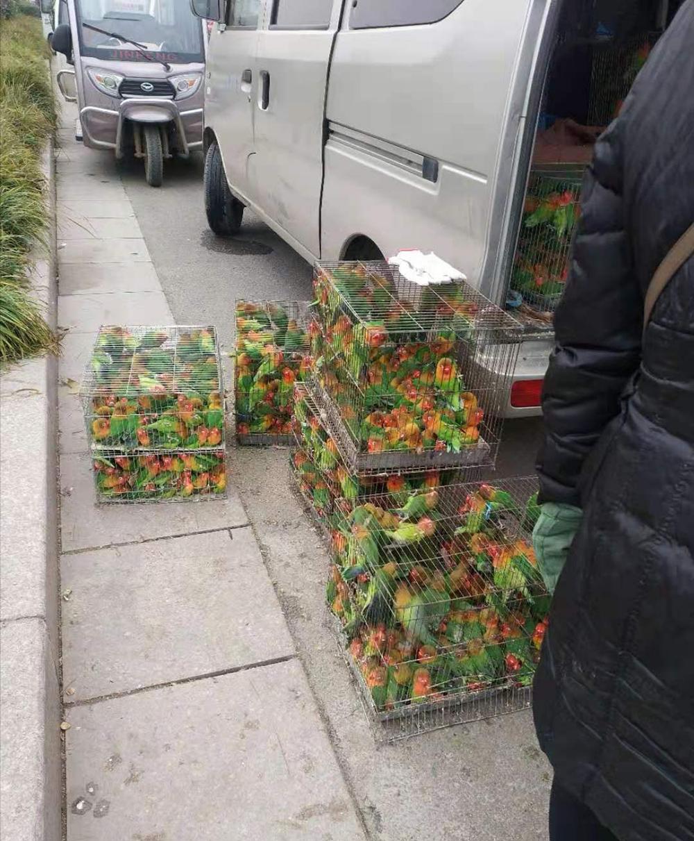 去年1月底,为减少养殖户损失,商丘市政府组织收购养殖户的鹦鹉,免费送给各地动物园。 养殖户供图