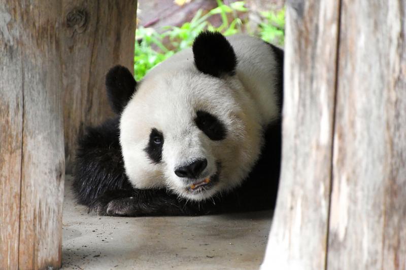 """当地时间2020年5月19日,日本神户,神户市立王子动物园19日宣布,已决定送回中国的雌性大熊猫""""旦旦"""",""""旦旦""""出现心律不齐、心跳加快的症状,正在进行药物治疗。""""旦旦""""今年25岁,相当于人类的70多岁。"""