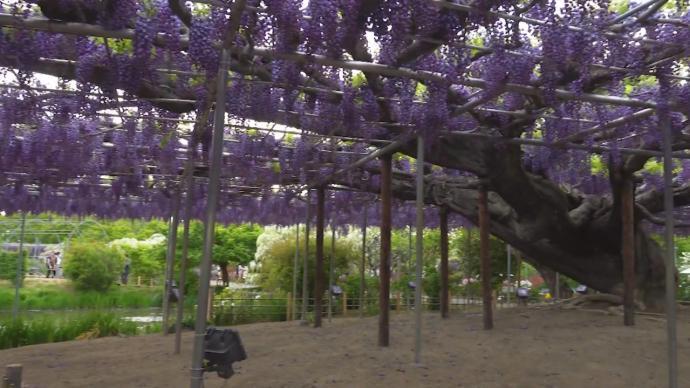 350棵紫藤争相盛开,日本足利花卉公园游人如织