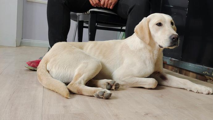 声音纪录片?|国际导盲犬日:你可知道比大熊猫还稀少的导盲犬的一生