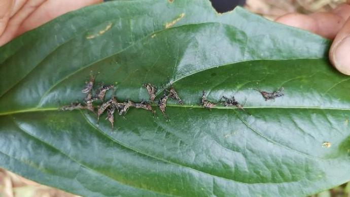 云南多地发现黄脊竹蝗幼虫,当地全力开展防治工作