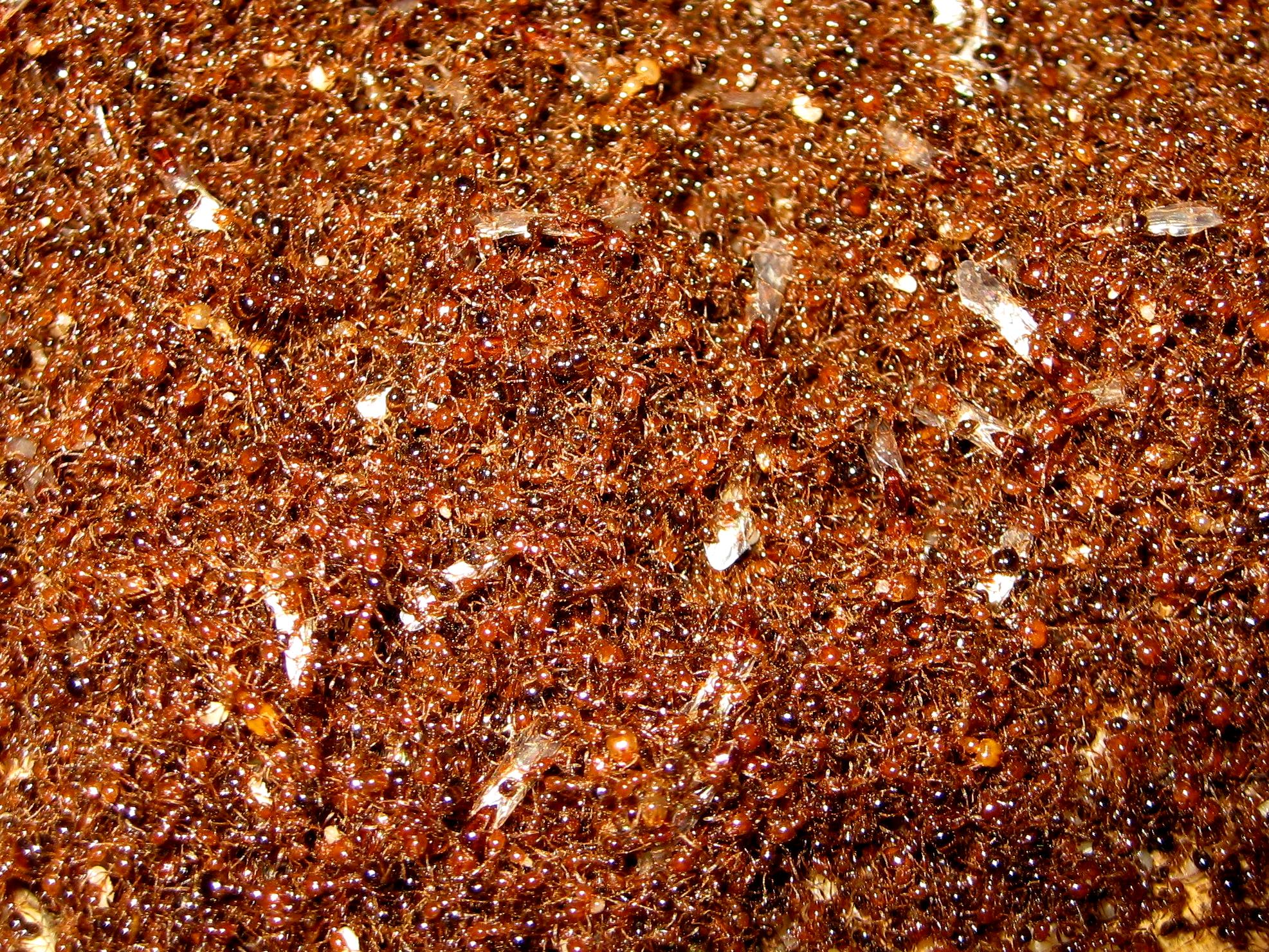 数量巨大的红火蚁群受访者供图