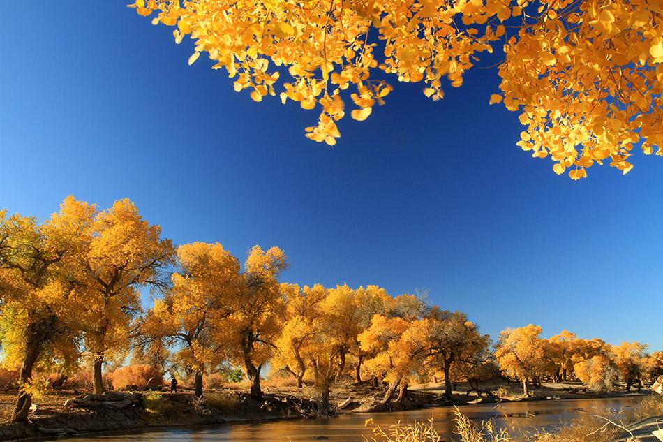 内蒙古额济纳旗秋季,额济纳河畔的金色胡杨林。