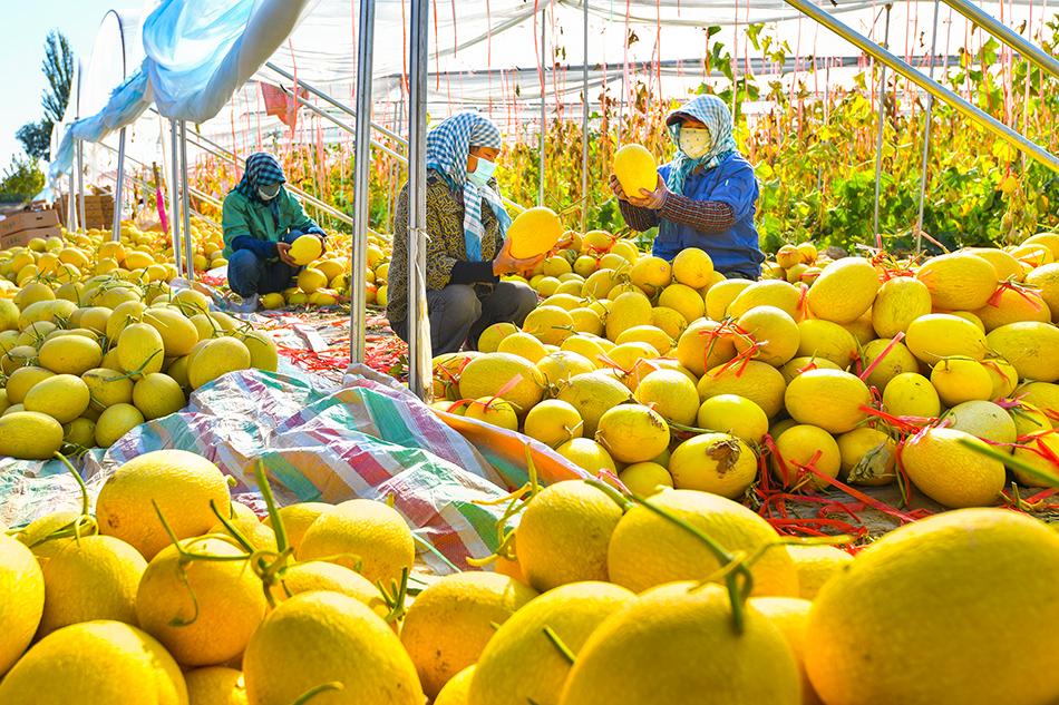 新疆哈密,伊州区花园乡卡日塔里村瓜农在分选哈密瓜。