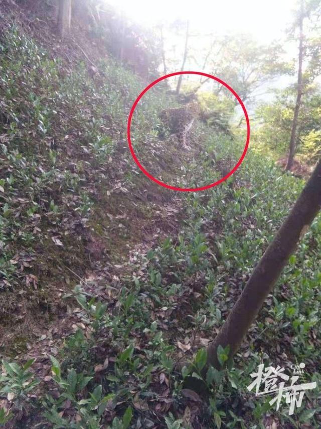 西湖区龙门坎村附近有村民发现疑似豹子的动物