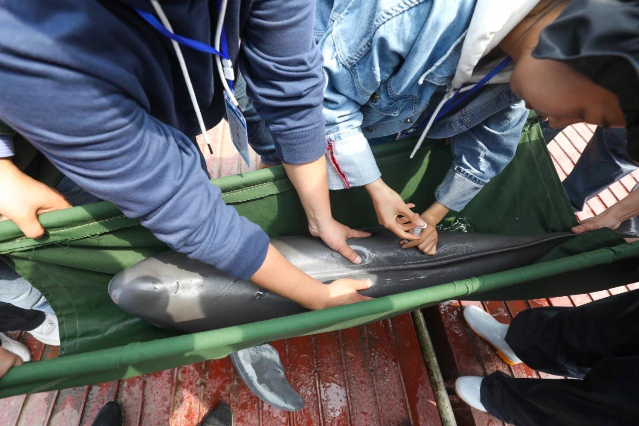 兽医为一头即将前往新家的长江江豚注射安定药物,以防运输途中出现危险。光明日报记者 周梦爽 图
