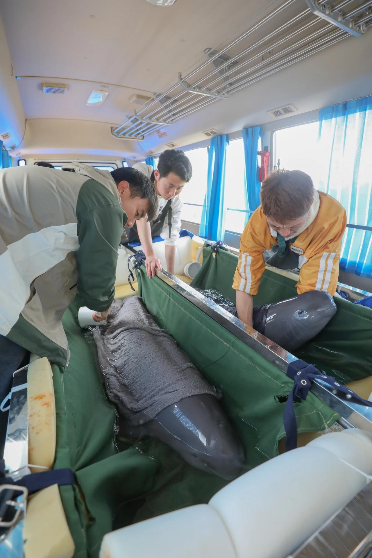 4月23日,工作人员用专业车辆运送两头长江江豚前往何王庙保护区。光明日报记者 周梦爽 图