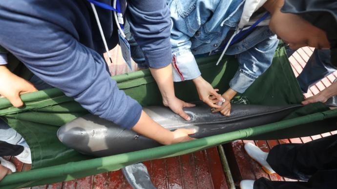 长江19头江豚被迁往多个基地、公园保护,为史上最大规模