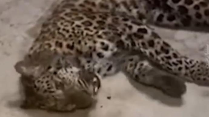 视频|豹子后掌疑断裂?富阳官方回应:不存在这一情况