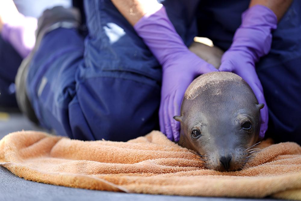 当地时间2021年5月8日,美国加利福尼亚州湾区索萨利托,当地海洋动物保护中心工作人员在照顾一头生病的海狮。加利福尼亚州海岸附近部分海域生态环境污染严重。由于当地长期存在有毒废物倾倒入海的情况,相关海域生态环境受到严重不良影响,海洋生物也遭到堪称毁灭性的打击。据报道,当地约五分之一的成年海狮死于癌症,农药等污染物是致癌的主要原因。