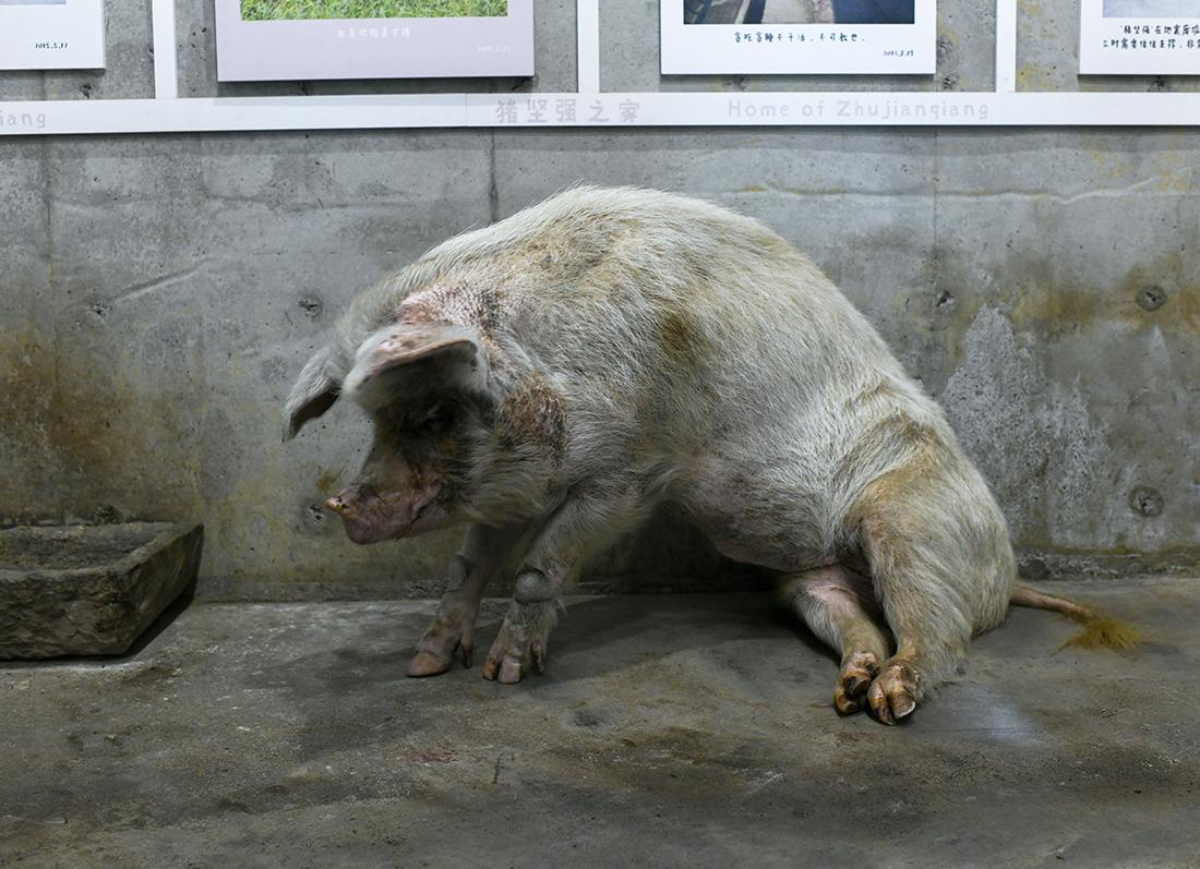 """2021年5月5日,四川成都建川博物馆,""""猪坚强""""尽力地尝试""""蹲坐"""",抬头和游客""""打招呼""""。10日中午,建川博物馆官方微博发布消息称,14岁的""""猪坚强""""已进入了生命的晚期。此前,它的腿脚已经很不方便,起身相当吃力,必须依靠人类拉扶才能站立。汶川地震后,""""猪坚强""""作为一种抗震精神的象征而存在。众多网友为""""猪坚强""""加油,希望能够挺过今年5.12。陈昱升/视觉中国 图"""