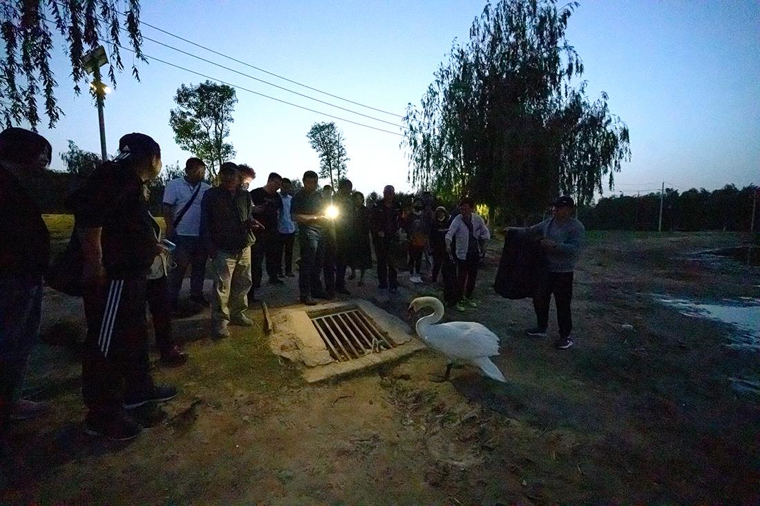 2021年5月7日傍晚,河南郑州,北龙湖的一对野生天鹅夫妇带着8只刚出生不久的小天鹅回巢途中,2只天鹅宝宝不慎掉入下水道,急坏了天鹅家长。最终,在众人的努力下,找来熟悉天鹅的管理员,成功营救出天鹅宝宝。IC 图