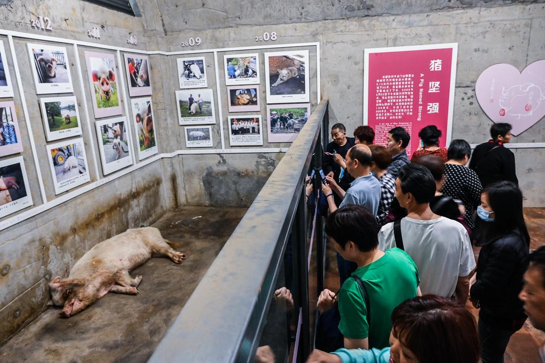 """2021年5月10日,建川博物馆内,""""猪坚强""""没有太多精力和游客互动。侧身躺在地上,后蹄无力地搭向前方,前蹄卷曲在胸前,眼睛闭着,缓慢地呼吸着。面部有一些泛红,皮肤上的黑斑如同人类的老年斑状。"""