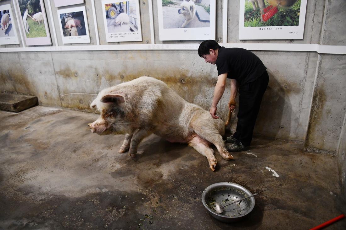 """进食后,饲养员龚国成准备给""""猪坚强""""上药。"""