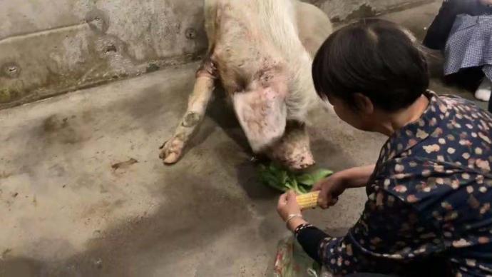 """原主人带着莴苣玉米来喂""""猪坚强"""":看到它现在这样,很难过"""