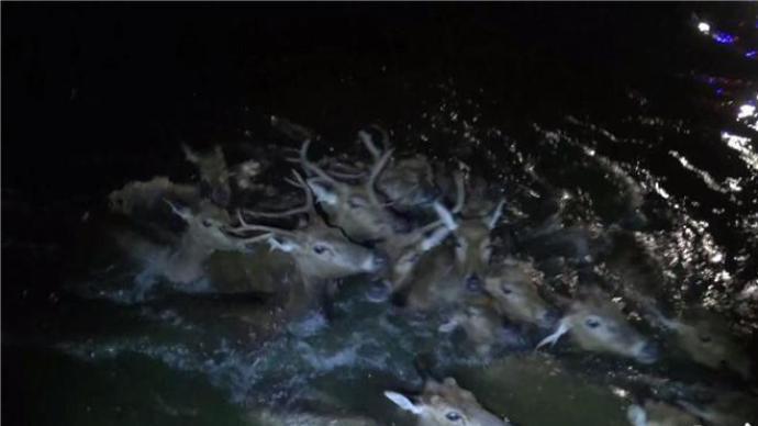 江苏盐城18头麋鹿被困水渠,多部门奋战5小时救出