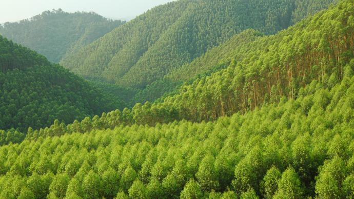 桉树破坏环境?广西林业局:部分属实,建站监测是否污染水源