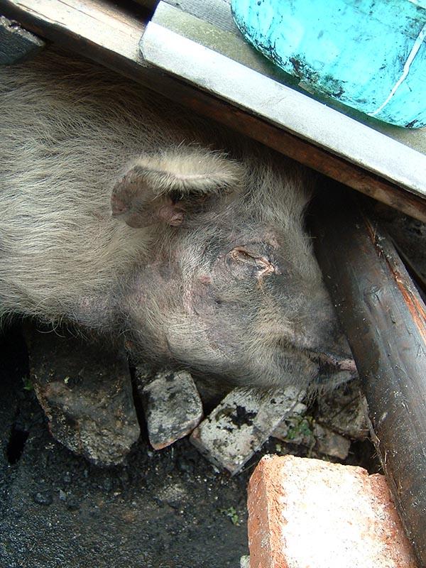 """废墟中的""""猪坚强"""""""