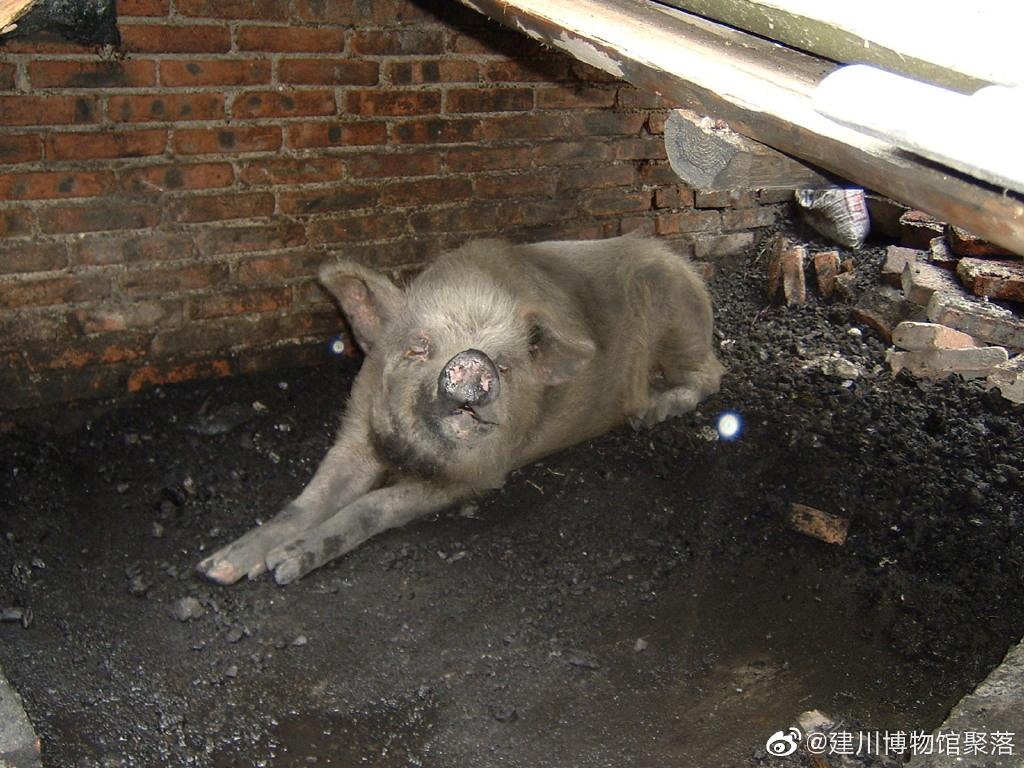 """获救后的""""猪坚强"""" 建川博物馆官方微博 图"""