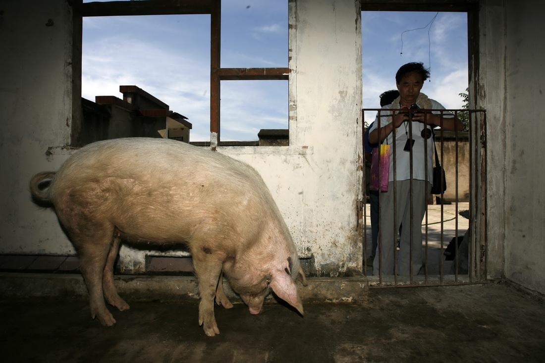 """2008年7月1日,游客前来探望""""猪坚强""""。"""