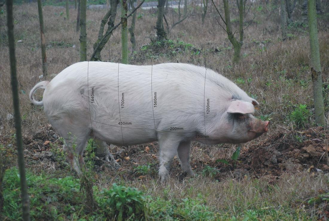 """建川博物馆为""""猪坚强""""测量""""三围"""",身上被标上""""三围""""数据。"""