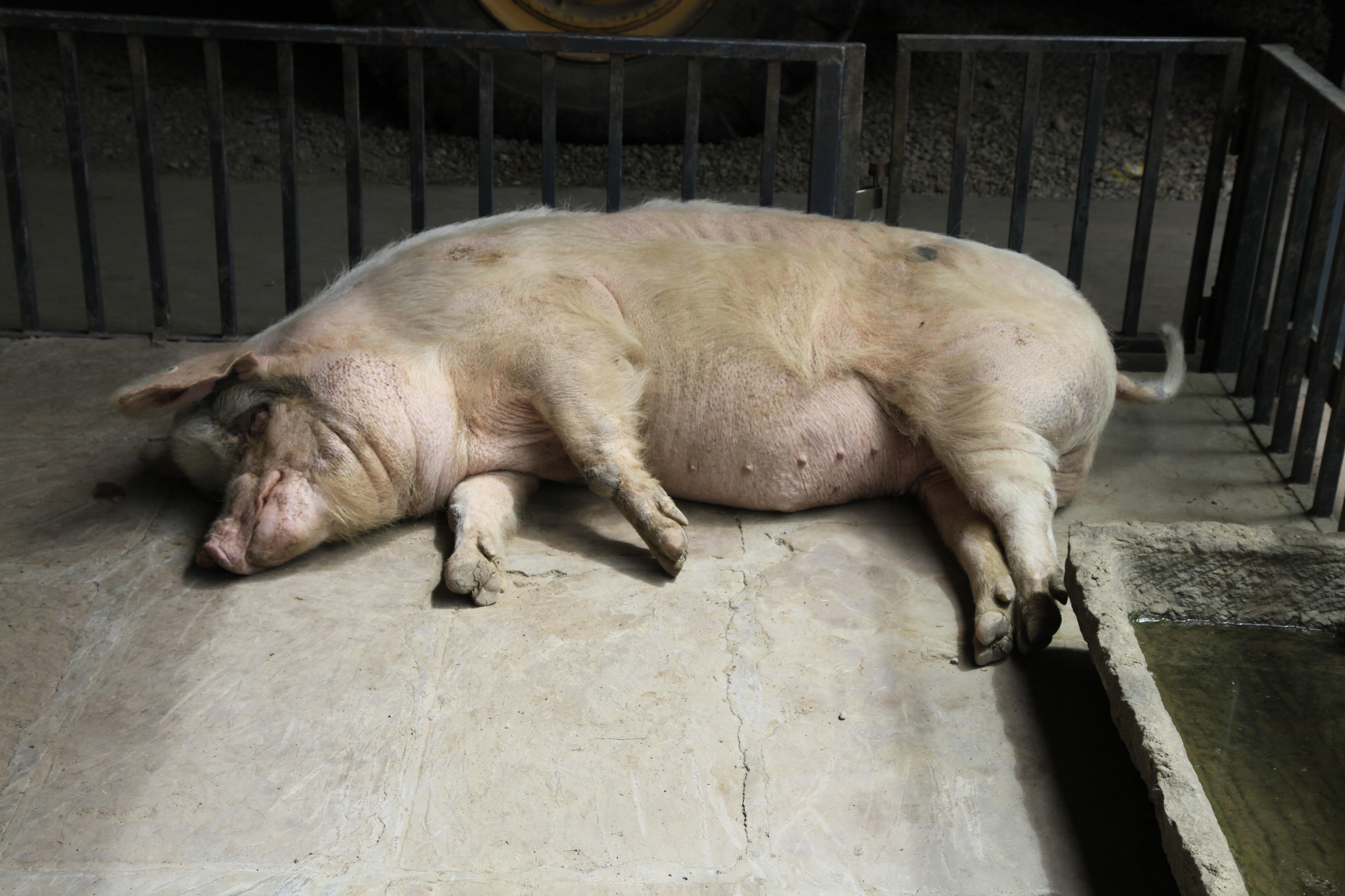 """2013年5月11日,""""猪坚强""""在建川博物馆内休息,体型有所改善。"""