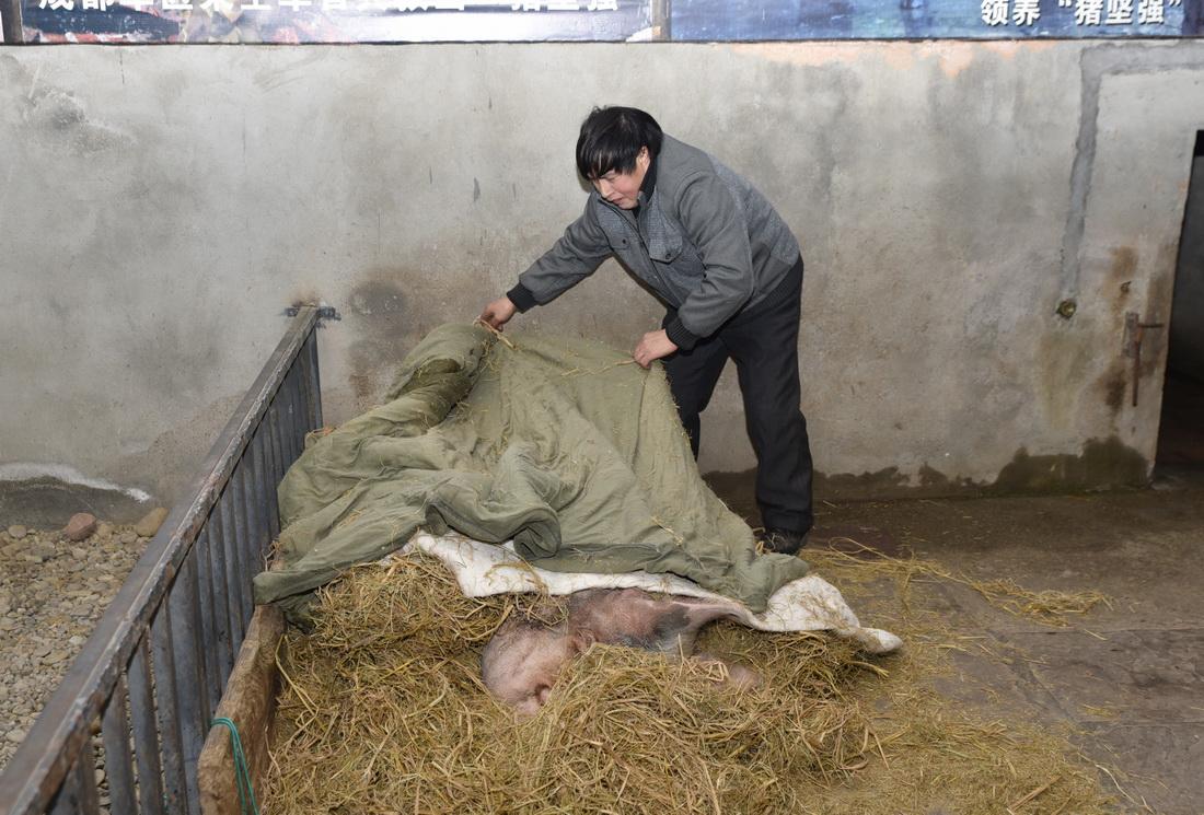 """2018年1月12日,饲养员龚师傅为""""猪坚强""""盖上被子。"""