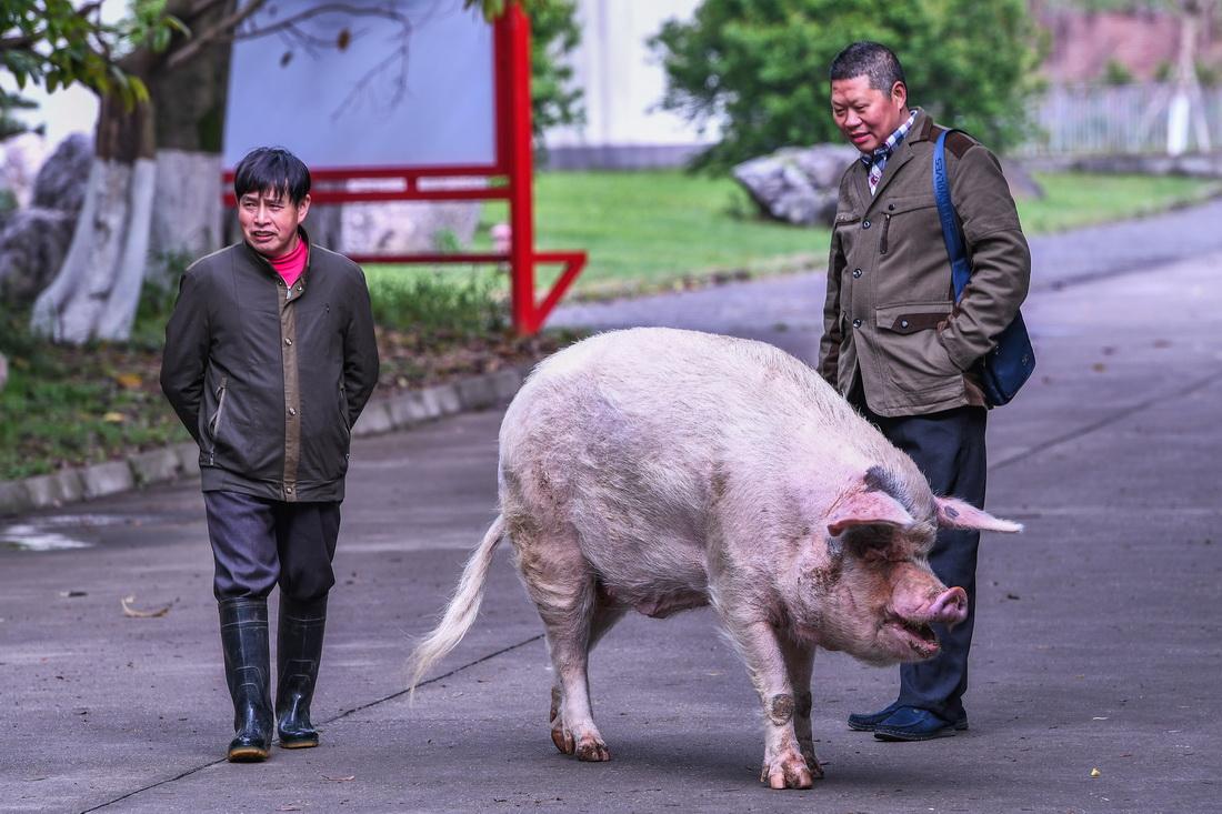 """2018年4月7日,11岁的""""猪坚强""""与饲养员龚国成(左)在建川博物馆散步。在饲养员精心照料下,""""猪坚强""""显得十分开心。"""