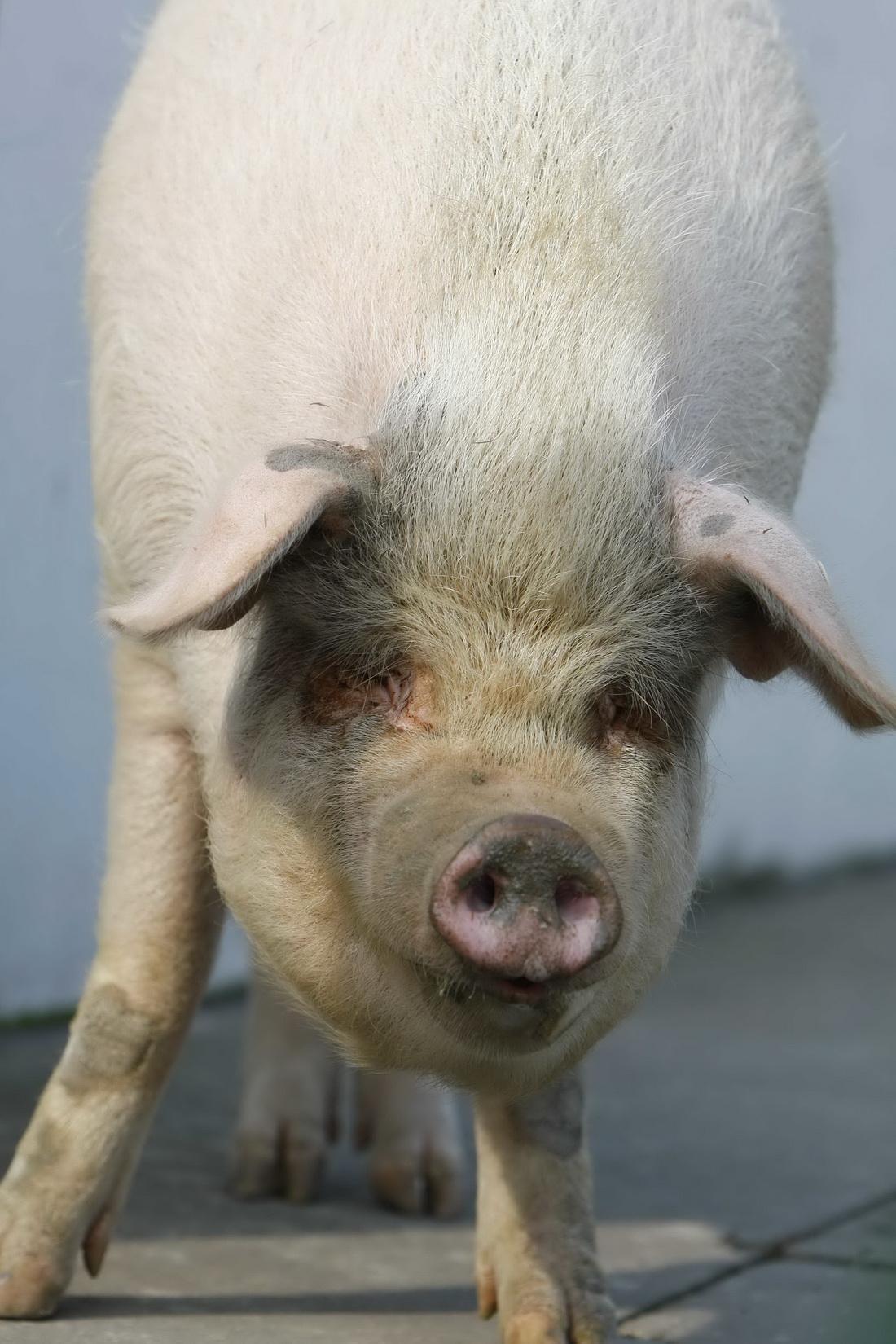"""2008年获救大半年后,""""猪坚强""""已从100多斤迅速长到了近400斤。"""