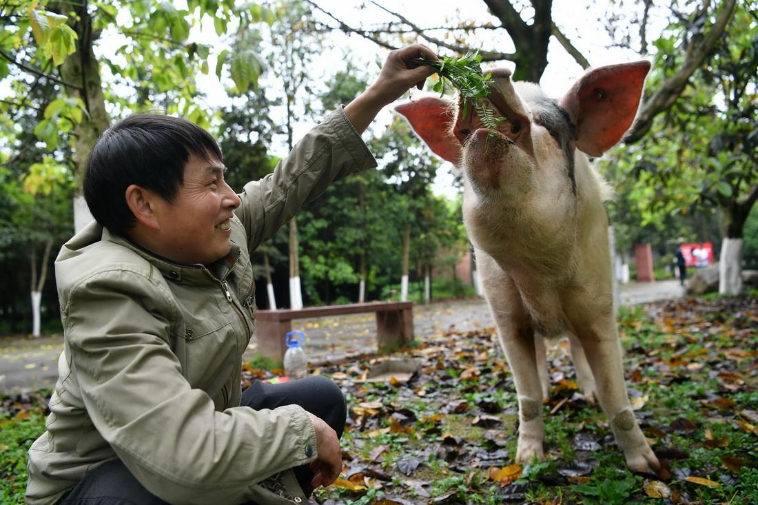 """2019年4月10日,龚师傅给""""猪坚强""""喂野草。为了它的健康,坚持每天带出门遛弯。"""