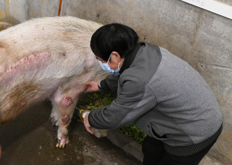 """趁着""""猪坚强""""吃饭期间,饲养员龚国成给其四条腿上药。"""