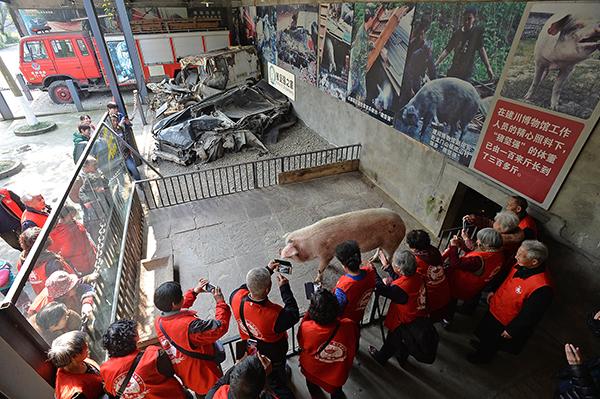 """2017年3月7日,""""猪坚强""""在""""猪坚强之家""""的客厅接受游客探望。"""