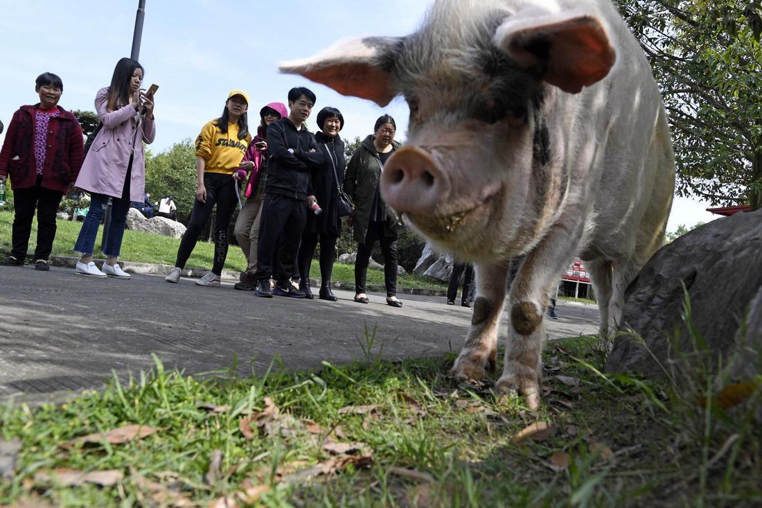 """2018年4月15日,""""猪坚强""""每天要外出遛弯两次,成为游客追逐的对象。"""