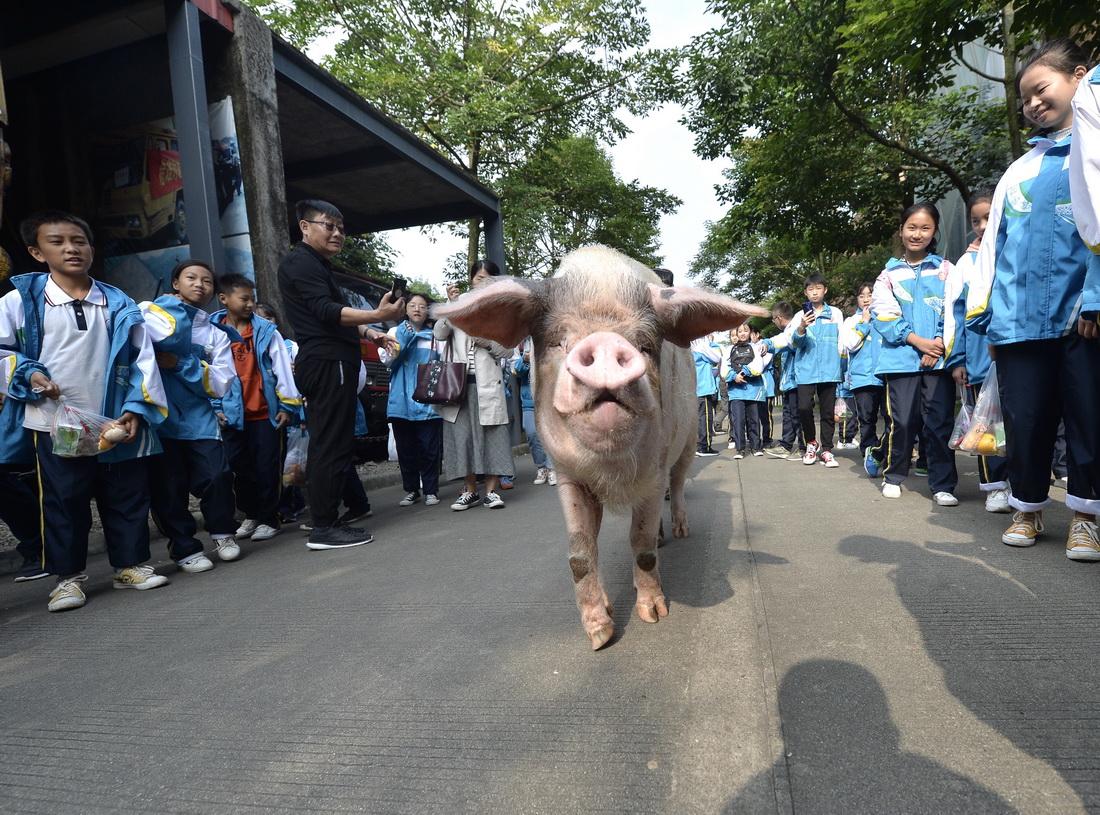 """2019年10月23日,散步中的""""猪坚强""""受到孩子们的欢迎。"""