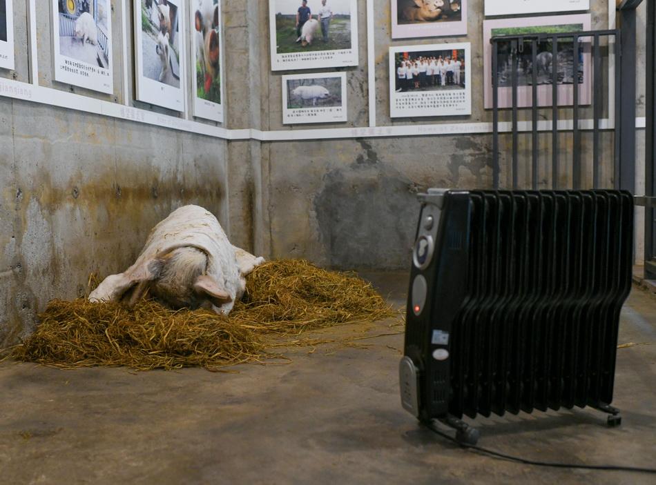 """""""猪坚强""""躺在""""别墅""""草垛上,盖着棉被,烤着暖炉酣睡。"""