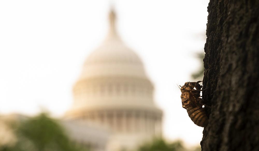 """当地时间2021年5月16日,美国首都华盛顿特区,一些蝉蜕皮后爬上树木。美国东部已发布预警称约300亿""""布鲁德X蝉""""将破土而出,提醒当地民众做好防御。"""