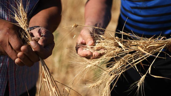 灾害性天气致局部小麦倒伏,农业农村部派3个专家组赶赴灾区