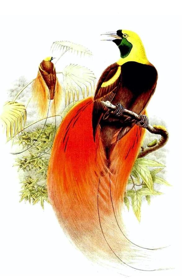 约翰·古尔德(John Gould)绘制的红羽极乐鸟(天堂鸟),原图出自古尔德所著《新几内亚和临近巴布亚群岛的鸟类》(The Birds of New Guinea and Adjacent Papuan Islands),转自[英]马克·凯茨比、约翰·古尔德等著,童孝华等译:《发现最美的鸟》,商务印书馆,2016年。