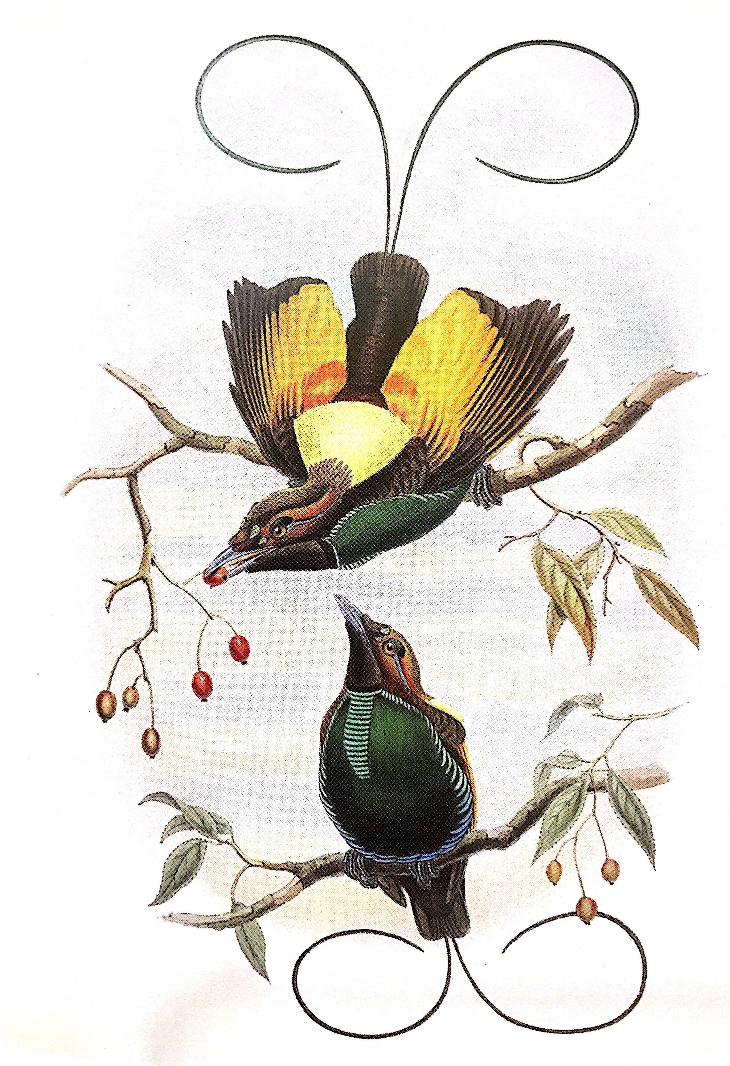 约翰·古尔德(John Gould)绘制的金翅天堂鸟,出处同上。