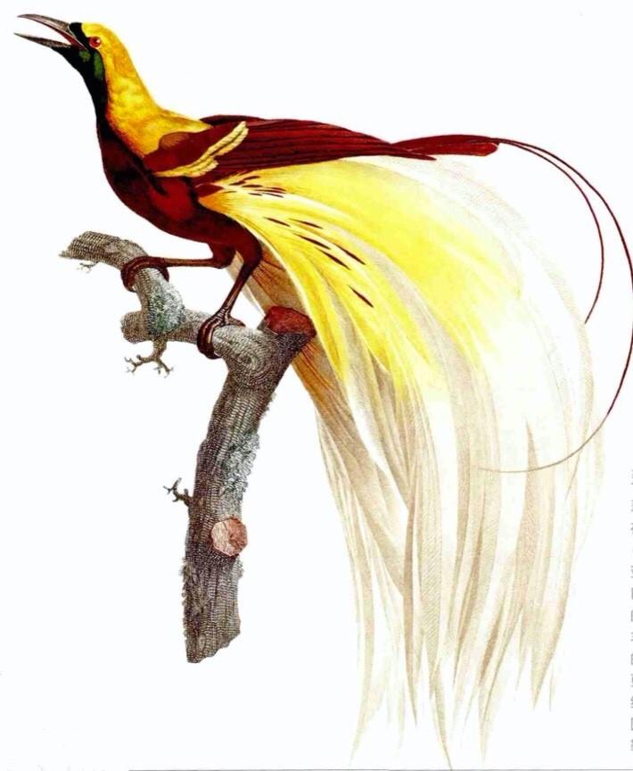 勒瓦扬绘制的翠绿小天堂鸟。勒瓦扬曾著《天堂鸟自然史》(1806年),是当时关于天堂鸟资料最为丰富的著作。图片转自[法]弗朗索瓦·勒瓦扬、[英]约翰·古尔德、[英]阿尔弗雷德·华莱士著,童孝华、连贯怡译:《寻芳天堂鸟》,北京大学出版社,2017年。